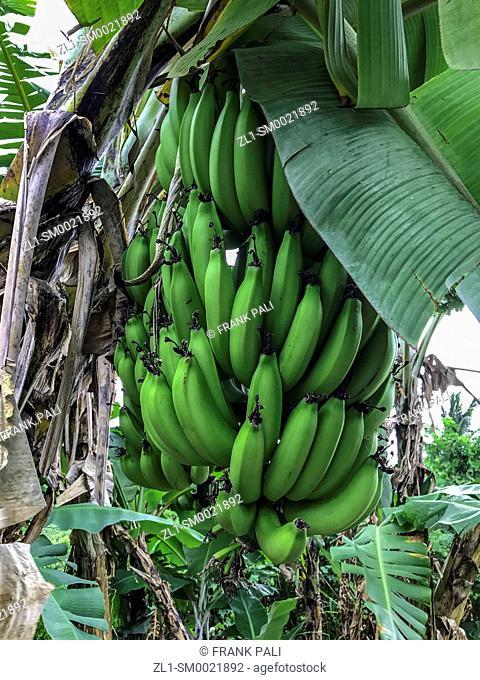 Bananas in the tree Maui, Hawaii
