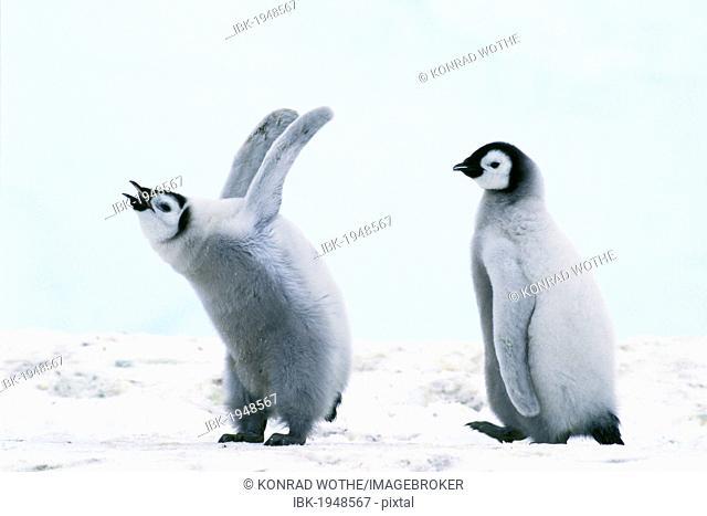 Emperor penguin (Aptenodytes forsteri) chicks, Weddell Sea, Antarctica