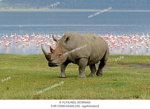 White Rhinoceros Ceratotherium simum adult, on lake shore, Lesser Flamingo flock in distance, Lake Nakuru, Kenya, october