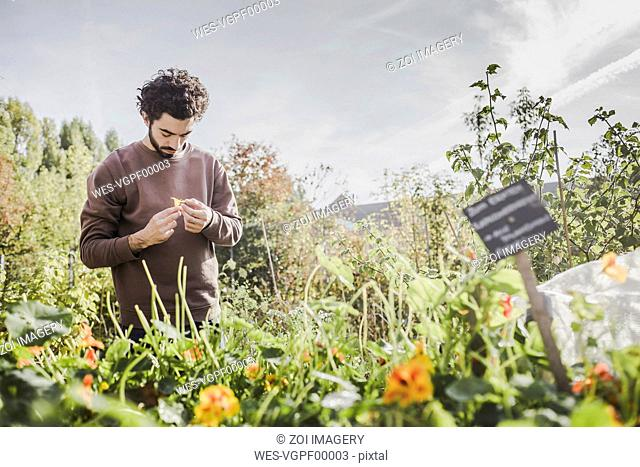 Man in urban garden examining flower