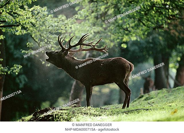 RED DEER Cervus elaphus male bellowing