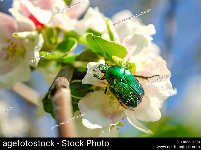 Rose chafer on the apple tree flowers on blurred background. Cetonia aurata, called the rose chafer or the green rose chafer, is a beetle
