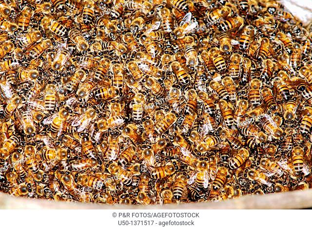 Swarm of africanized honeybee, Apis mellifera on a tree, Acre, Rio Branco, Brazil, 2010