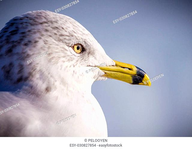 a ring billed gull (Larus delawarensis ) profile