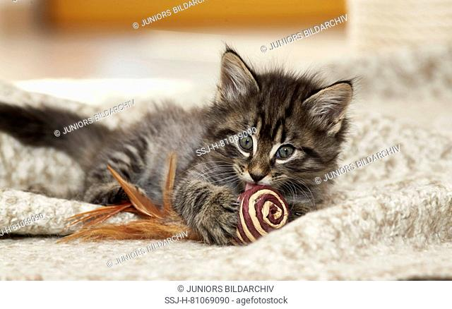 Norwegian Forest Cat. Kitten with toy lying on a rug. Germany