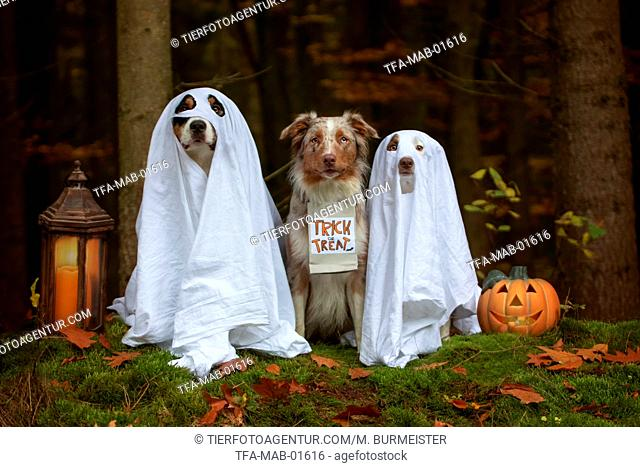 Australian Shepherd to Halloween