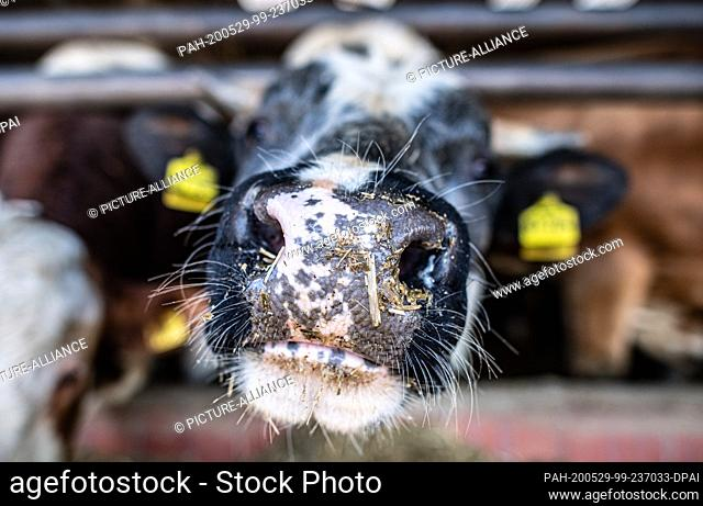 29 May 2020, North Rhine-Westphalia, Hopsten: A bull is standing in the stable of a bull farm. After two years of drought and increased feed costs