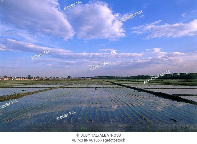 Photograph of a rice field in China