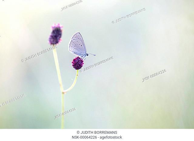 Scarce Large Blue (Maculinea teleius) on on Great Burnet (Sanguisorba officinalis) warming up, The Netherlands, Noord-Brabant, Moerputten