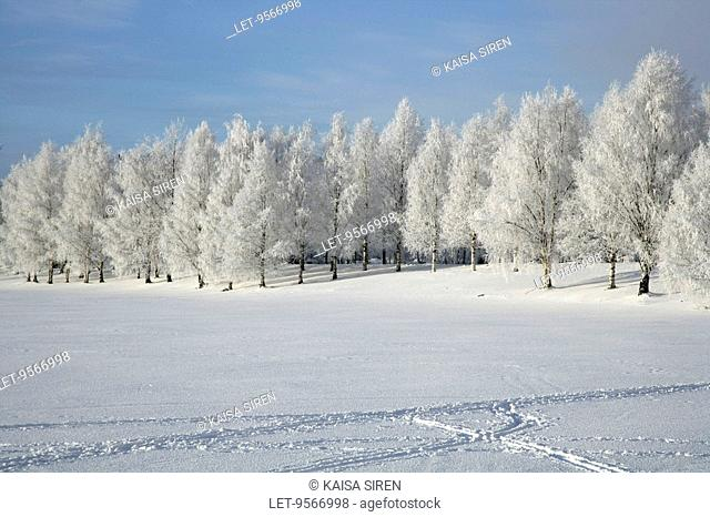 Snowcovered birch trees