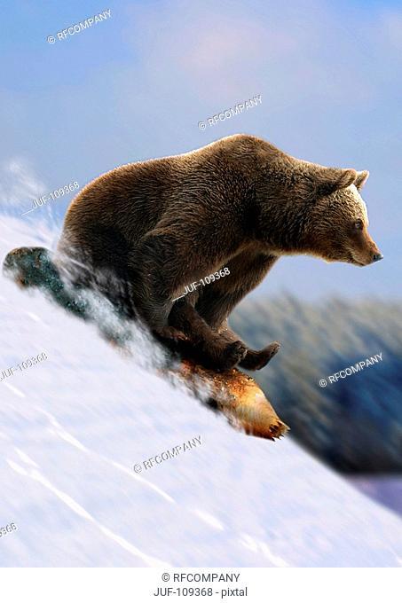 brown bear is sledding / Ursus arctos