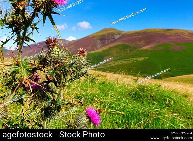 Thorn bush and bee on its flower on Latrigg fell above Keswick, Cumbria, UK