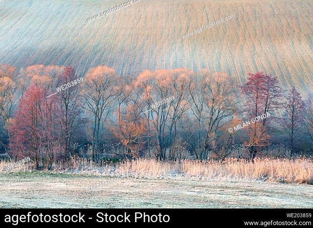 Willows and blooming alders in the fields of Turiec region, Slovakia