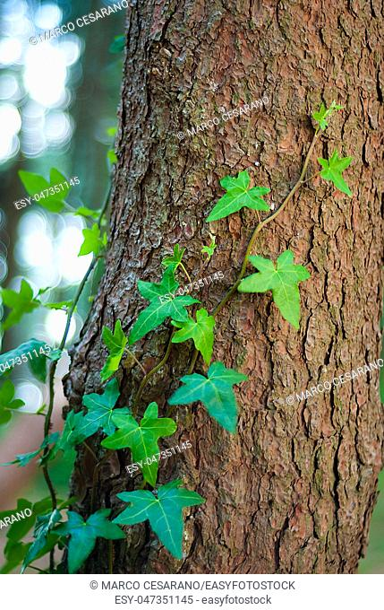 Ivy leaves, hugging a pine tree, in the woods