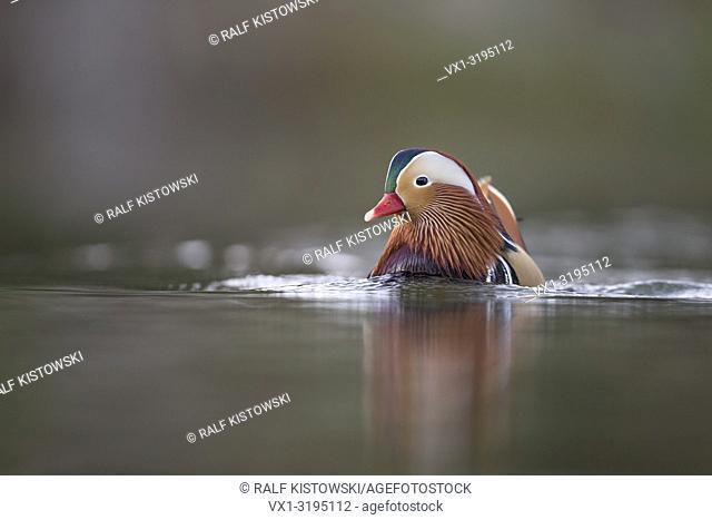 Colorful drake of Mandarin Duck (Aix galericulata) swims closer, looks aside, breeding dress