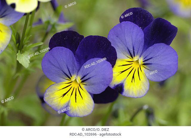 Wild Pansy Viola tricolor