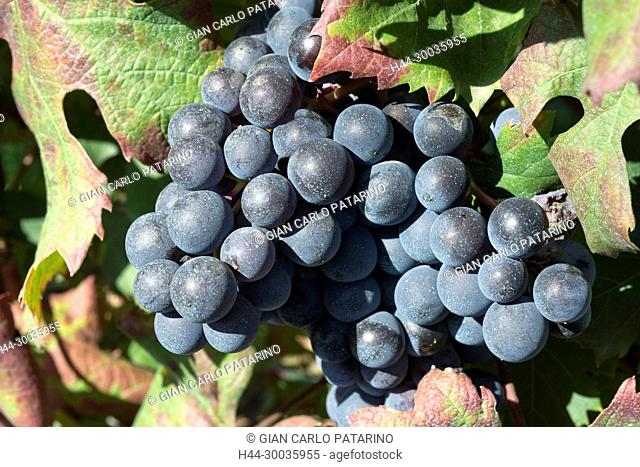 Italy, panorama of vineyards of Piedmont Langhe-Roero and Monferrato on the World Heritage List UNESCO. A close-up of a bunch of Barbera d'Asti Italy, Piedmont