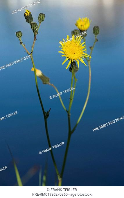 Marsh sow thistle, Sonchus palustris / Sumpf-Gänsedistel, Sonchus palustris