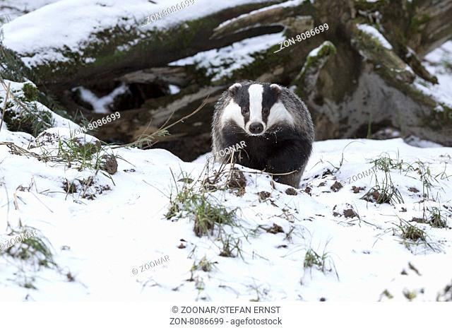 Europäischer Dachs im Winter / European badger in winter / Meles meles