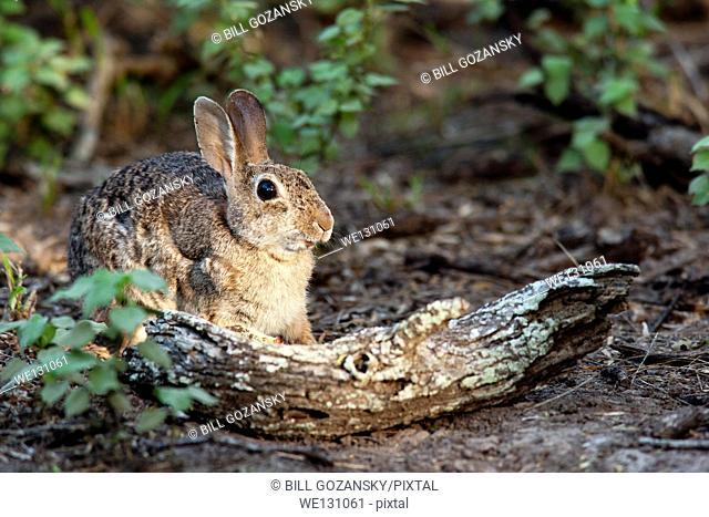 Eastern Cottontail Rabbit - Camp Lula Sams - Brownsville, Texas USA