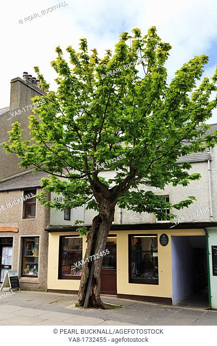 Albert Street, Kirkwall, Orkney Mainland, Scotland, UK, Great Britain, Europe  The Big Tree is a two hundred year old Sycamore Acer pseudoplatanus in the...