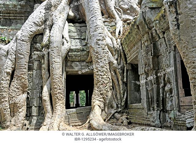 Tetrameles tree (Tetrameles nudiflora), tree's roots overgrowing the ruins of the temple complex of Ta Prohm, Angkor Thom, UNESCO World Heritage Site, Siem Reap