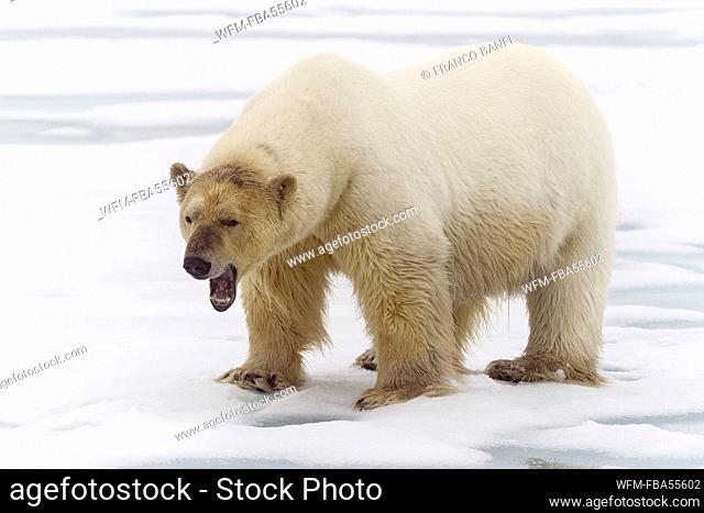 Polar Bear, Ursus maritimus, Spitsbergen, Arctic Ocean, Norway