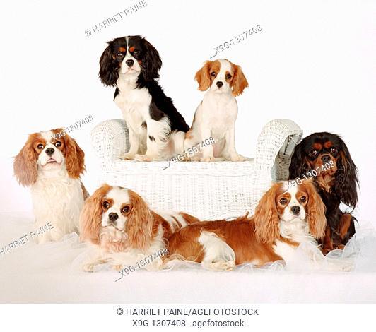 Cavalier King Charles Spaniel: breed of dog