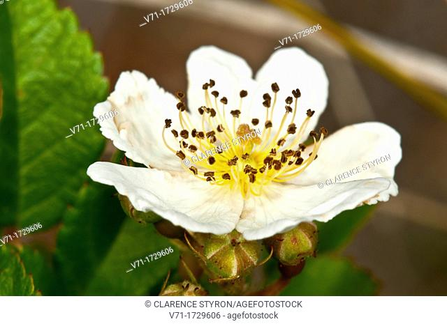 Blackberry Flower Rubus argutus