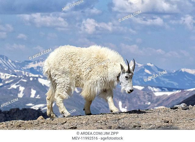 Mountain Goat - Oreamnos americanUS female in summer - A large hoofed mammal endemic to North America - A subalpine to alpine species - it is a sure-footed...