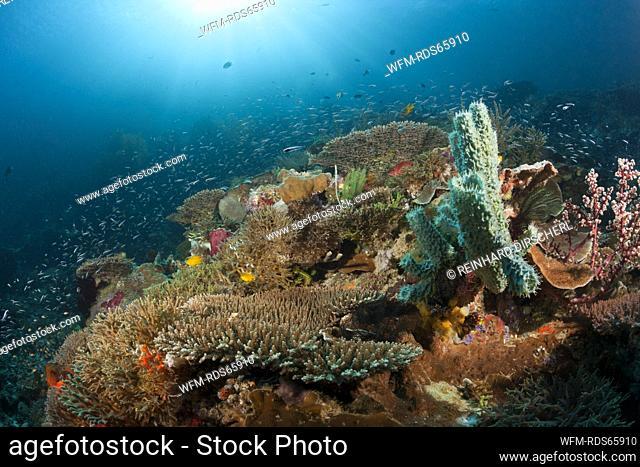 Colored Coral Reef, Raja Ampat, West Papua, Indonesia