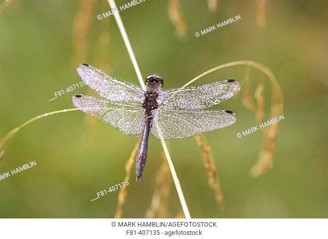 Black Darter (Sympetrum danae) male coated in dew, resting on grass stem. Scotland. UK