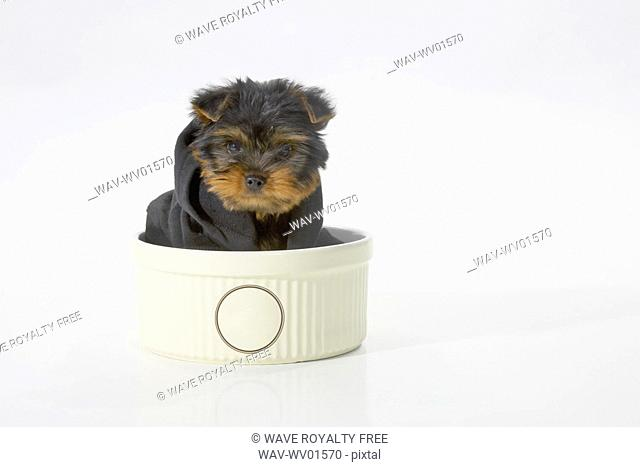 Yorkshire Terrier dog wearing a black hooded sweatshirt sitting in a bowl