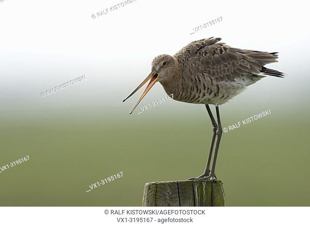 Black tailed Godwit (Limosa limosa), adult in breeding dress, perched on an old fencepost, watching above its territory, calling, warning, Europe