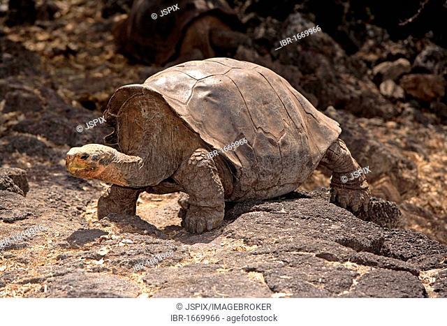Galápagos tortoise or Galápagos giant tortoise (Geochelone nigra), adult, Galapagos Islands, Pacific Ocean