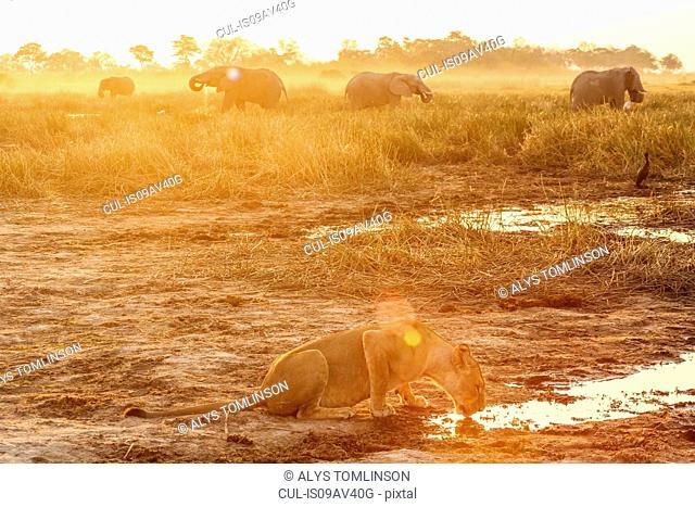 Lioness drinking water, elephants in background, Botswana