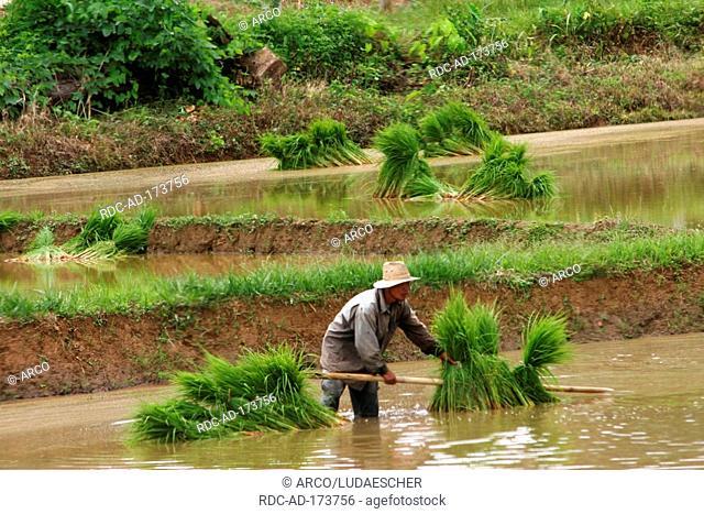 Man harvesting rice, Central Thailand
