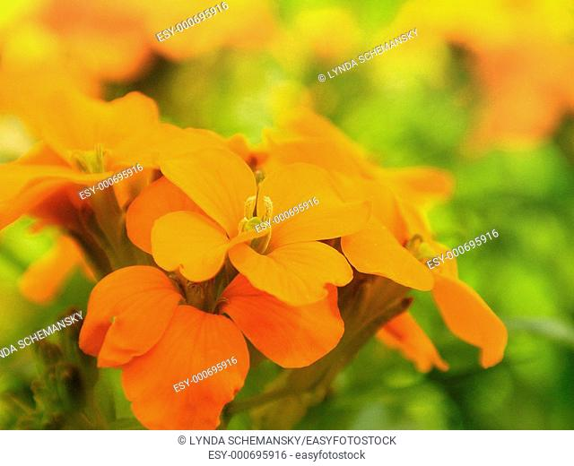 Siberian wallflowerCheiranthus allionii, Erysimum allionii