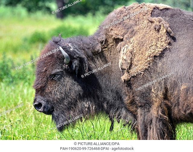 19 June 2019, Brandenburg, Kleptow: A bison is to be seen in a game enclosure of Thomas Golz, owner of the game enclosure Golz moose and reindeer farm
