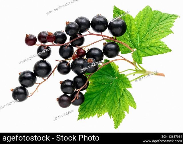 Crop of real garden berries of black currant with leaves and twigs. Isolated on white studio macro shot