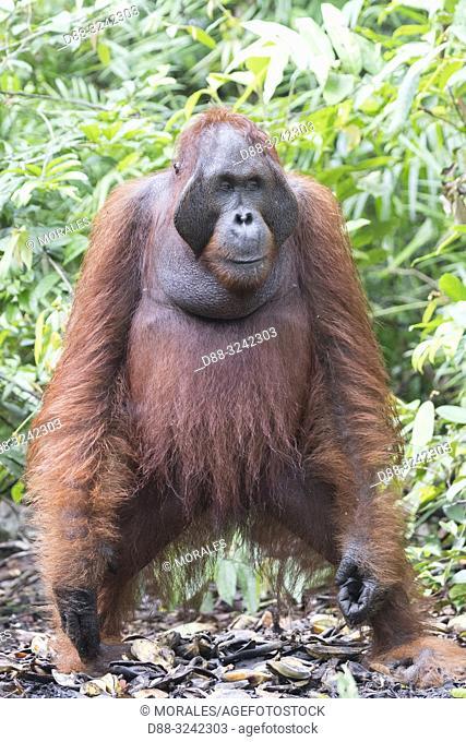 Asia, Indonesia, Borneo, Tanjung Puting National Park, Bornean orangutan (Pongo pygmaeus pygmaeus), adult male in a tree