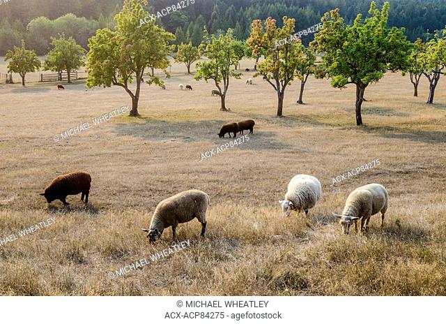 Domestic sheep, the Ruckle Farm, Ruckle Provincial Park, Salt spring Island, British Columbia, Canada