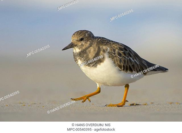 Ruddy Turnstone (Arenaria interpres), Zuid-Holland, Netherlands