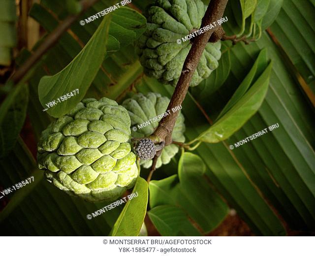 Chirimoya fruits