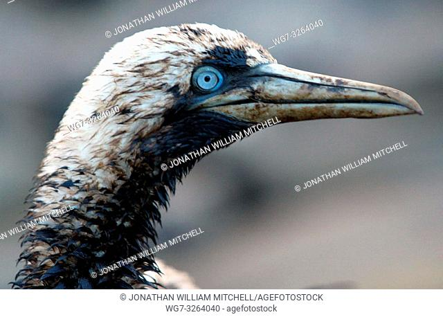 SPAIN Malpica -- 12/2002 -- Cormorant sea bird affected by the oil on the beach at Malpica. Thousands of tonnes of heavy fuel oil which has leaked from the...
