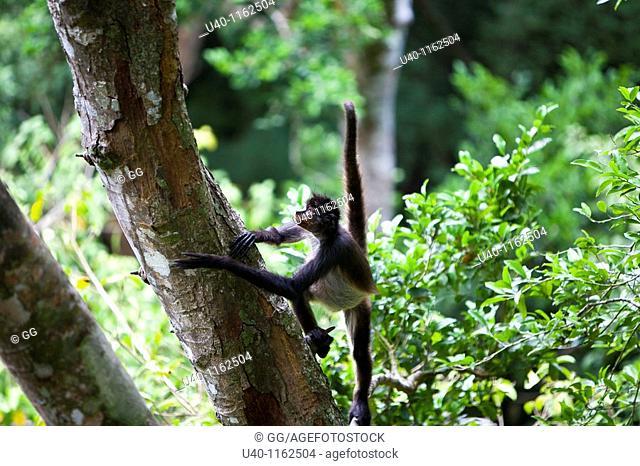 Guatemala, Peten, Tikal, spider Monkey