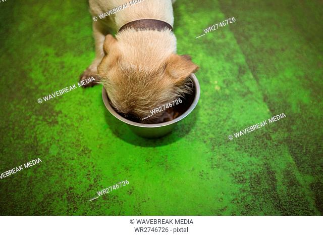 Puppy eating from dog bowl