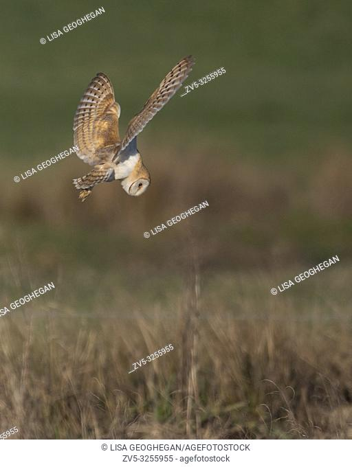 Barn Owl-Tyto alba dives to catch prey. Winter. Uk