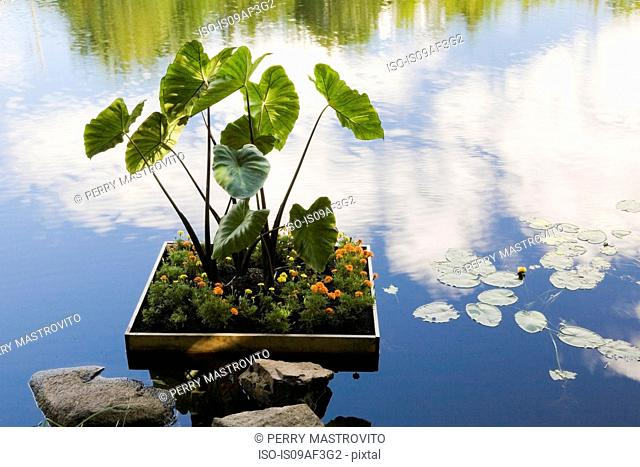 Marigold (Tagetes Patula) and Elephant-ear (Colocasia) in floating flower box