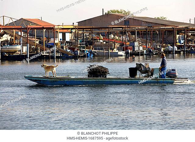 France, Herault, Meze, Mourre Blanc, Oyster farmer and his dog back to fishing port
